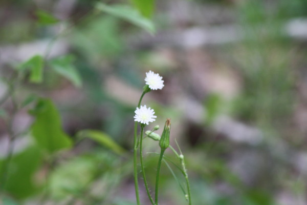 Little White Daisy-like Flowers