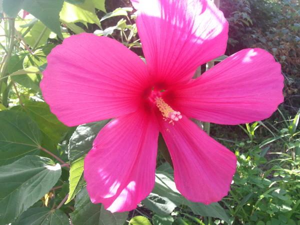 Hibiscus in Memory Park