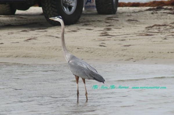 Galveston Beach Birds: Heron