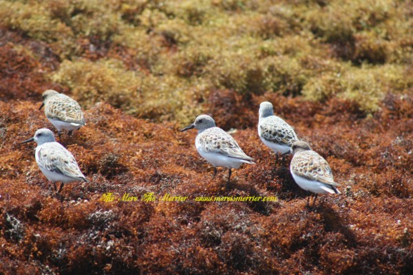 Galveston Beach Birds - Small mob