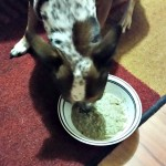 Maggie eating Halcyon Duck Recipe by The Honest Kitchen
