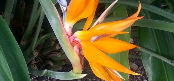 Bird of Paradise ~ Wordless Wednesday