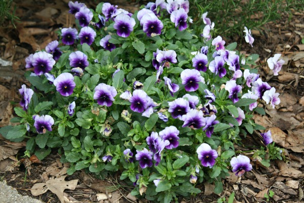 More purple! Johnny-Jump-Ups in the front flower beds.