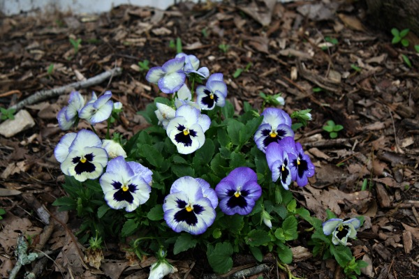 Pansies in the front garden bed. Spring 2015 Photos