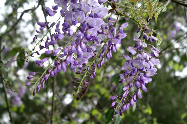 Wisteria blooms all over our yard. #FATF Spring 2015 Photos
