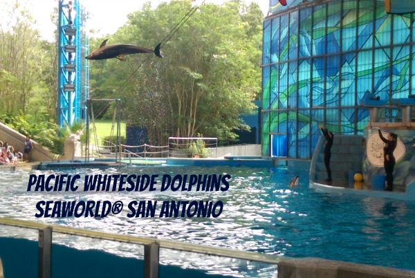 Pacific Whiteside Dolphin Show at SeaWorld® San Antonio