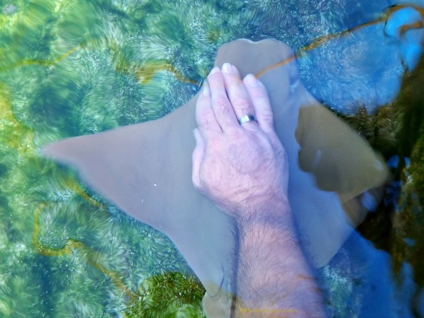 Petting Cow Nosed Stingrays at SeaWorld San Antonio