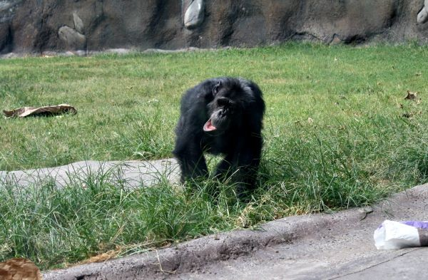 A silly chimpanzee at the Houston Zoo