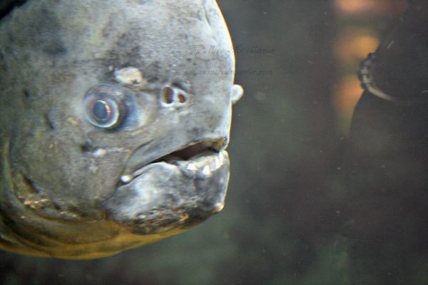 Piranha at the Houston Zoo Aquarium